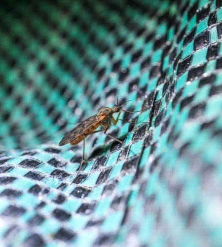 moustique 1